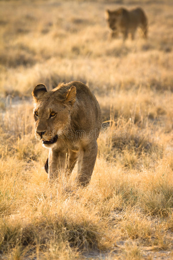 Lion Hunting Royalty Free Stock Image