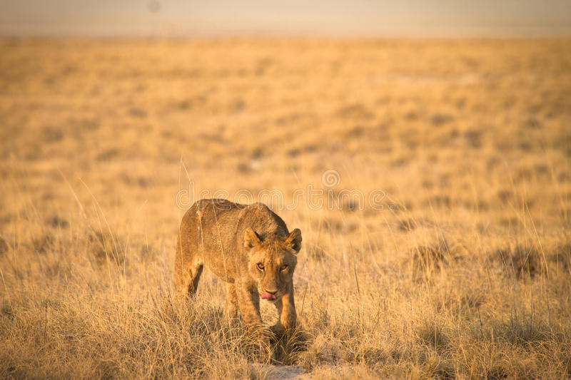 Download Lion Hunting Royalty Free Stock Images - Image: 18390039