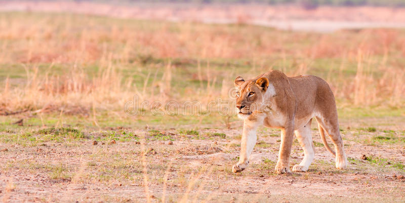 Lion Hunting fotos de stock royalty free