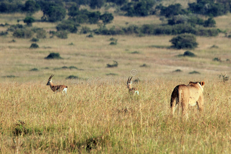 Lion Hunting Gazelles fotografia de stock