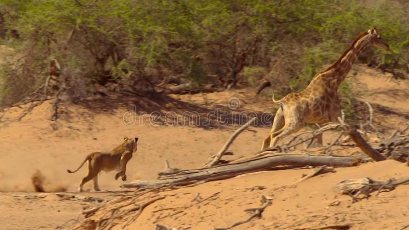 Lion hunting a giraffe in Etosha Wildlife Reserve in Namibia royalty free stock photos
