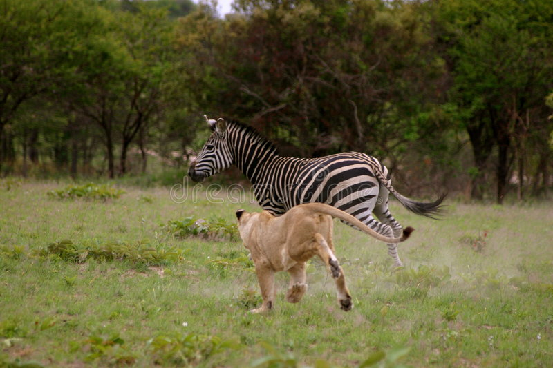 Lion hunting Zebra royalty free stock images
