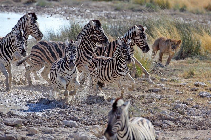 Lion hunting zebras royalty free stock photo