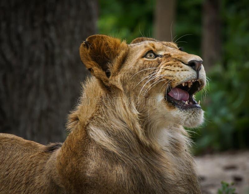 Lion hurlant photos libres de droits