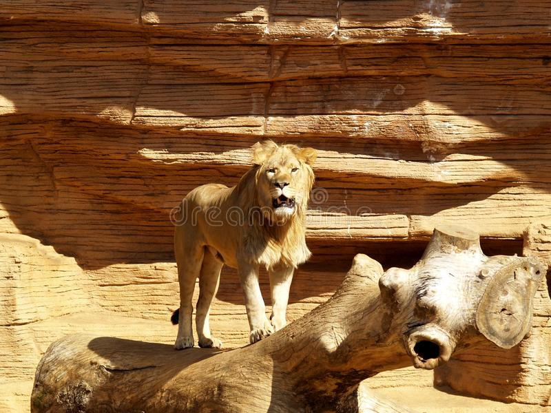 Lion hurlant photographie stock