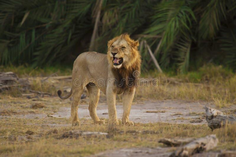 Lion i savannahen arkivfoton