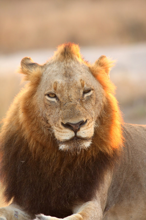Free Lion In Sabi Sands Stock Photo - 5569670