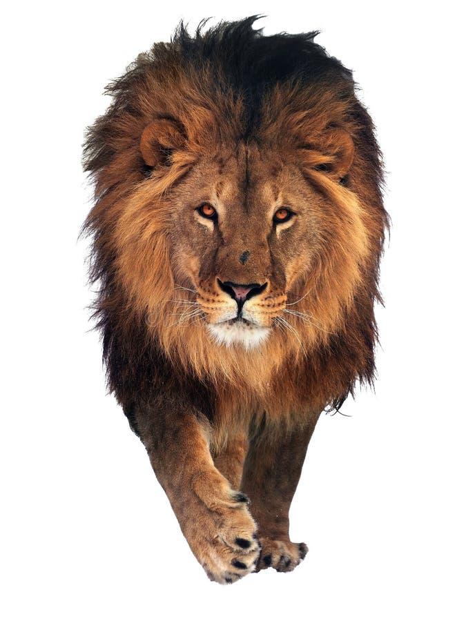 Lion indiquant le bonjour d'isolement au blanc image libre de droits