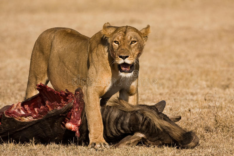 Download Lion kill stock image. Image of hunting, mane, tourism - 11786047