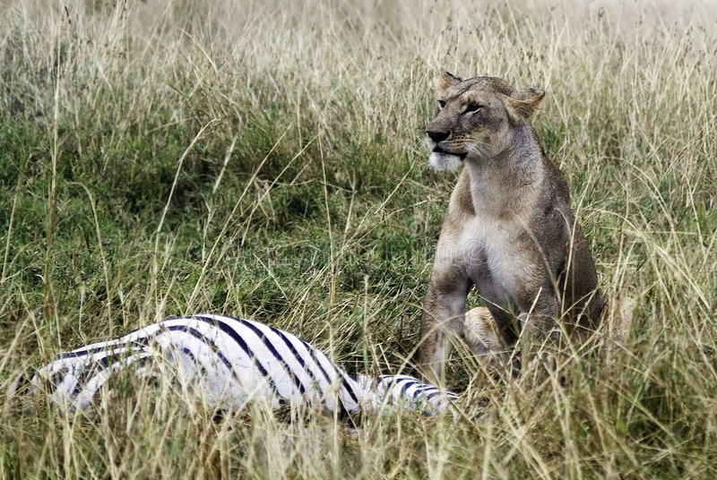 Lion Kill. A female lion stands over a large male zebra she has just managed to kill royalty free stock photography