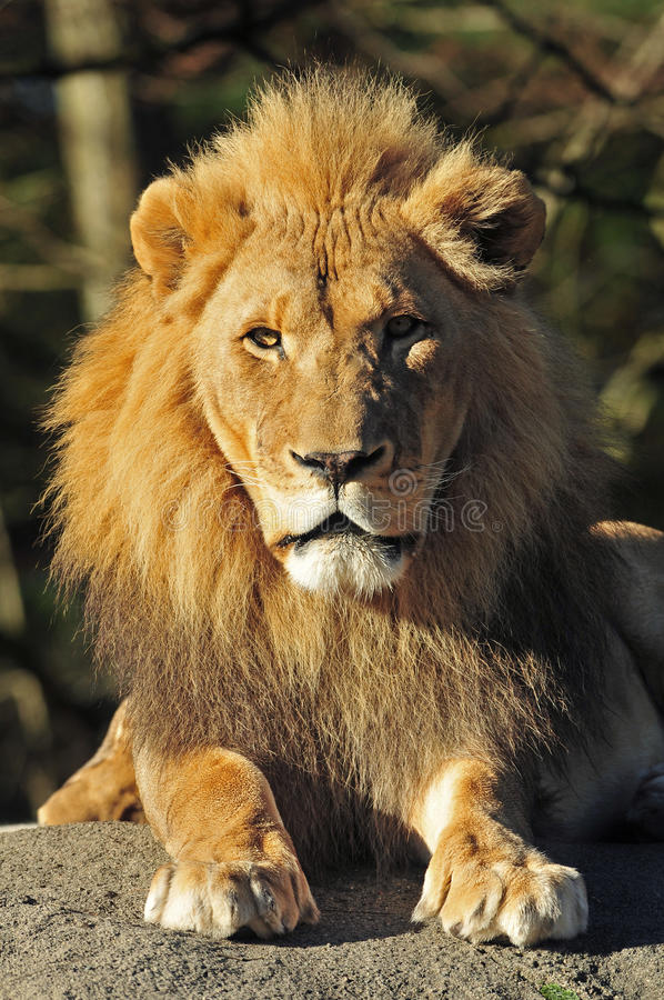 Free Lion King Stock Photography - 12184502