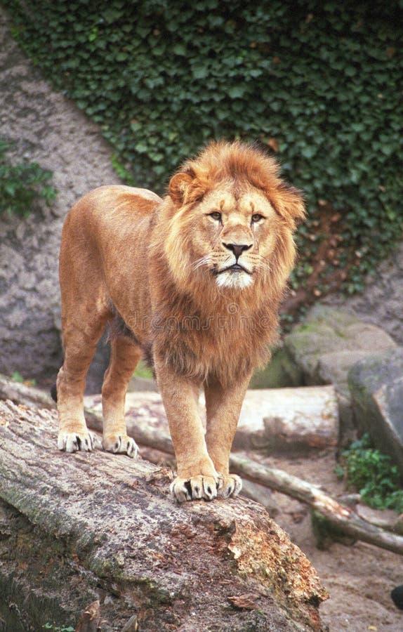 Download Lion stock photo. Image of wild, african, portrait, wilderness - 2246166