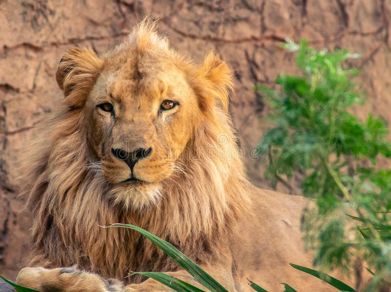Lion the King of Animals royalty free stock image