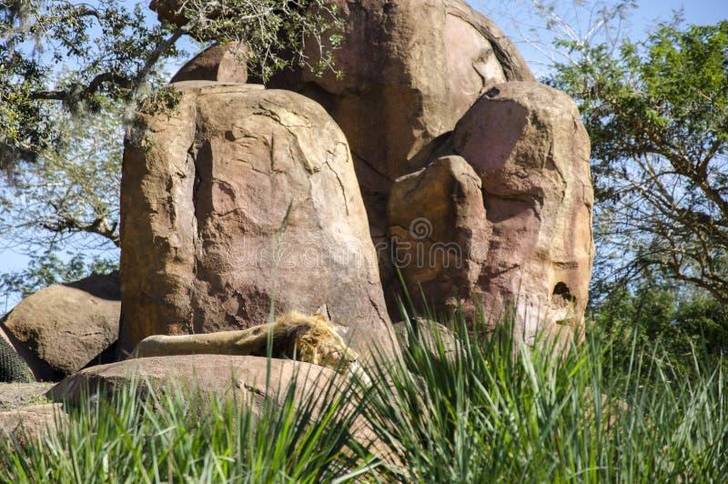 Lion King della giungla addormentata sulla roccia di orgoglio fotografia stock libera da diritti