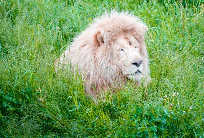 Lion King Emerging van Hoge Kruiden stock afbeeldingen