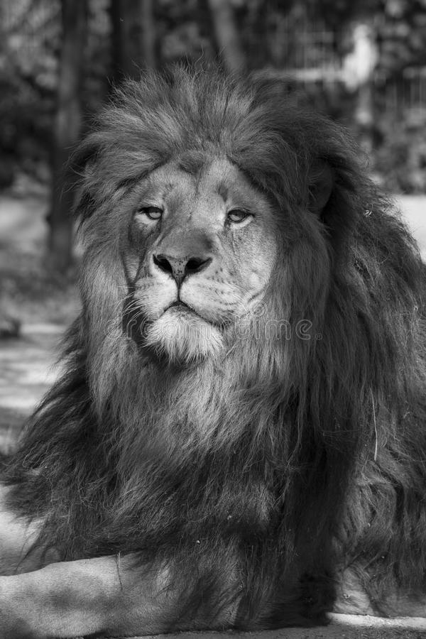 Lion, the king. An image of a lion in black and white royalty free stock photography