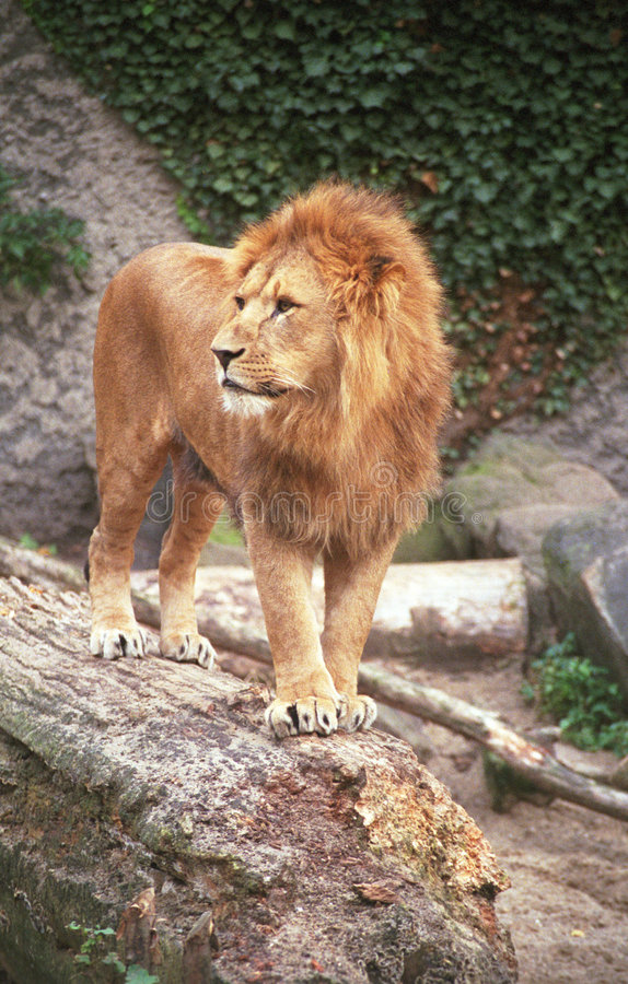 Download The lion King IV stock photo. Image of furry, powerful - 2357718