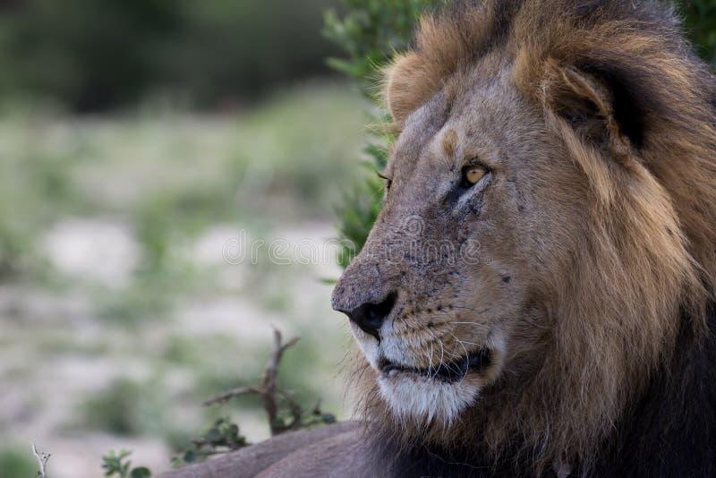 Lion King let op royalty-vrije stock afbeelding