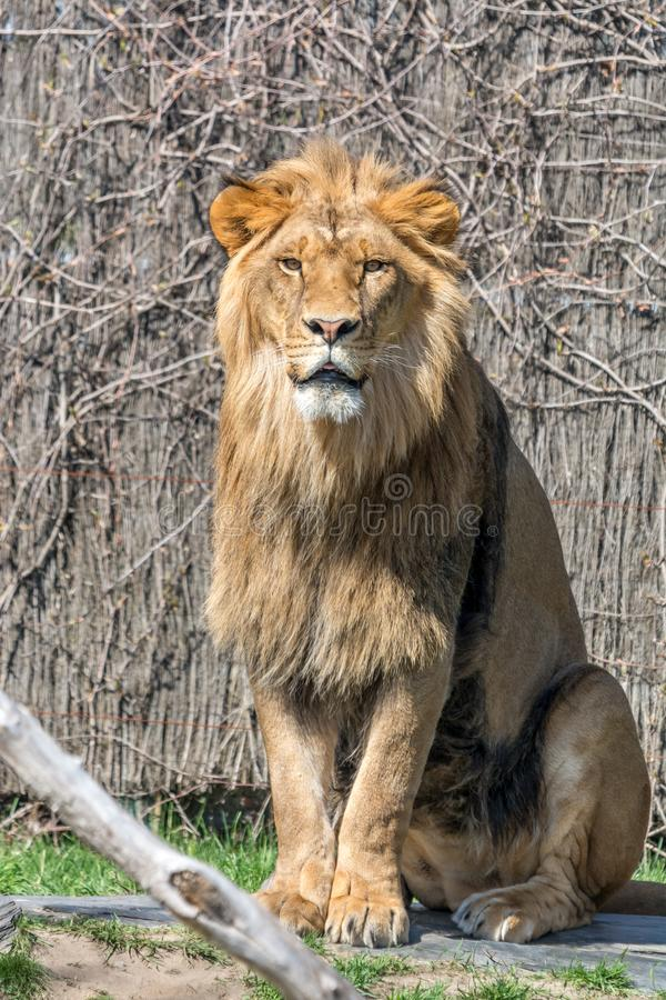 The Lion King stock photo
