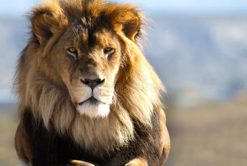 Lion King of the wild stock photos