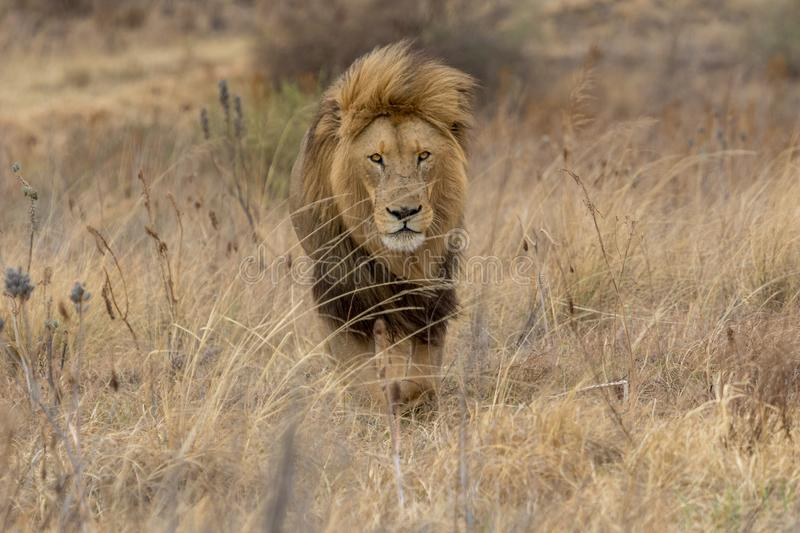 Lion Kruger National Park images libres de droits