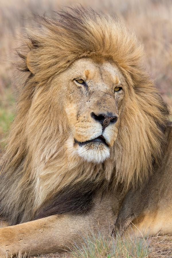 Lion Kruger National Park images stock