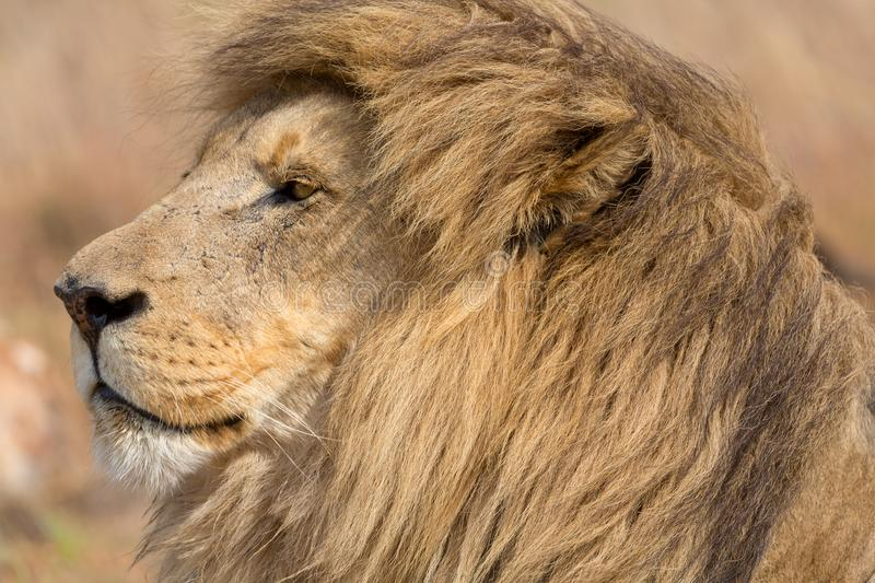Lion Kruger National Park image stock