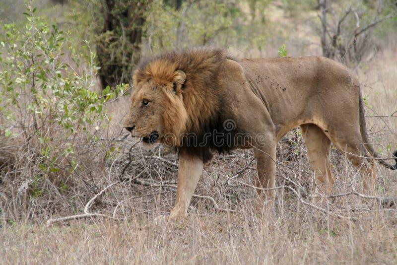Lion in Kruger National Park stock image