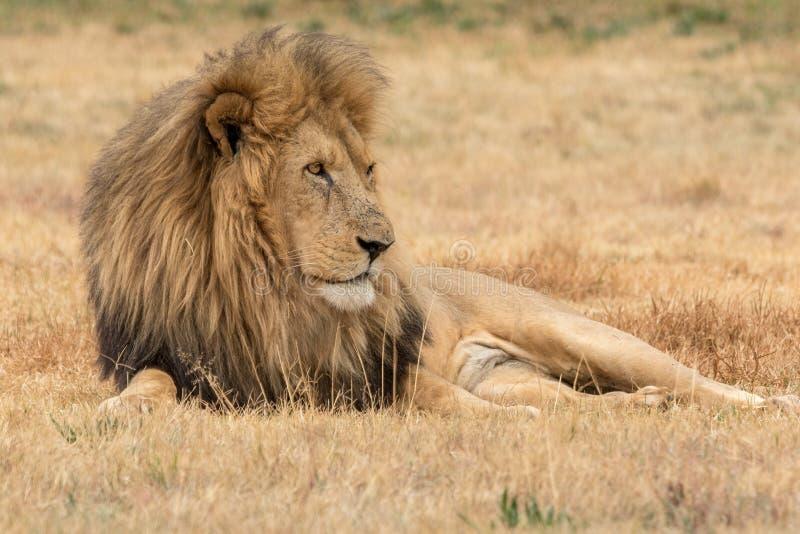 Lion Kruger National Park royalty free stock photos