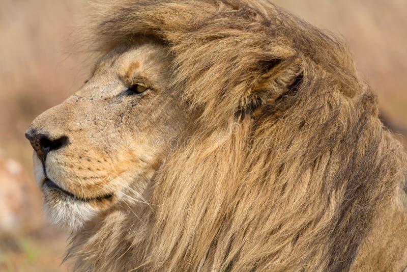 Lion Kruger National Park stock image