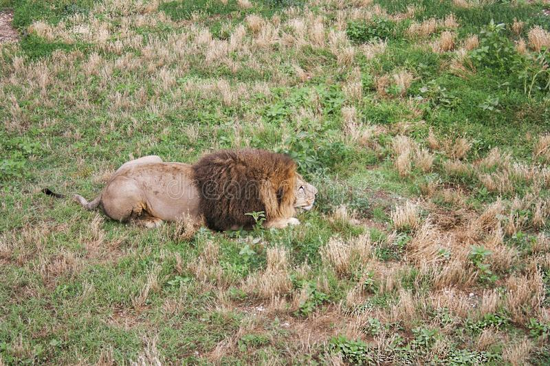 Lion large male disguised himself and prepared to attack royalty free stock photos
