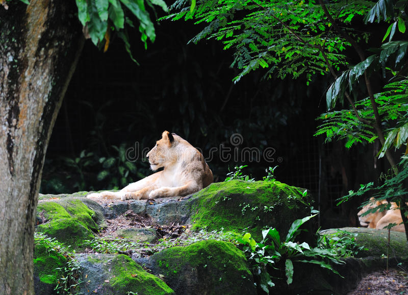 Download Lion laying stock photo. Image of large, hunt, danger - 13189004