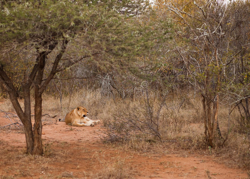 Lion laying in the bush stock photo
