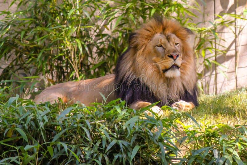 Lion Laying en la hierba, león masculino imágenes de archivo libres de regalías