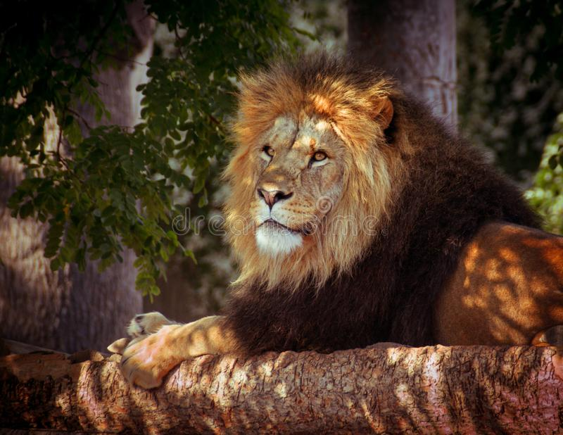 Lion laying in shade stock photography