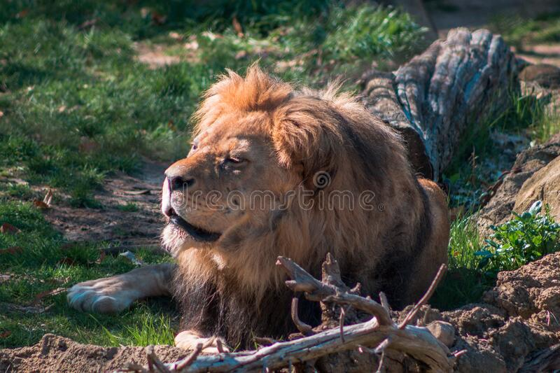 Lion Laying Down . Lioness Lying On The Floor Stock Image - Image of nopeople, creatures: 105143177
