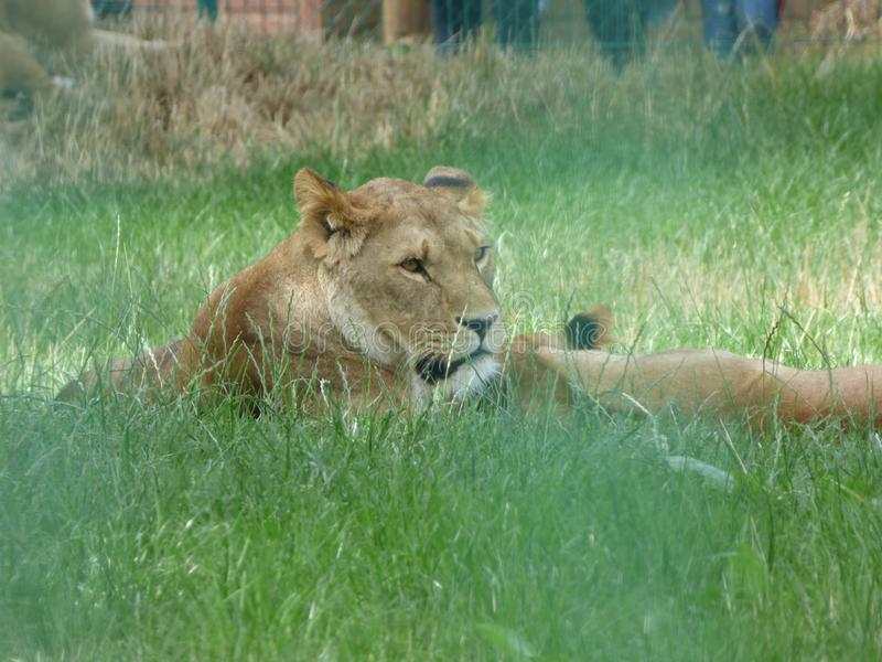 Lion laying in wait stock photo