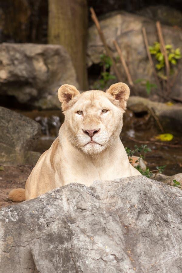 Lion Lied