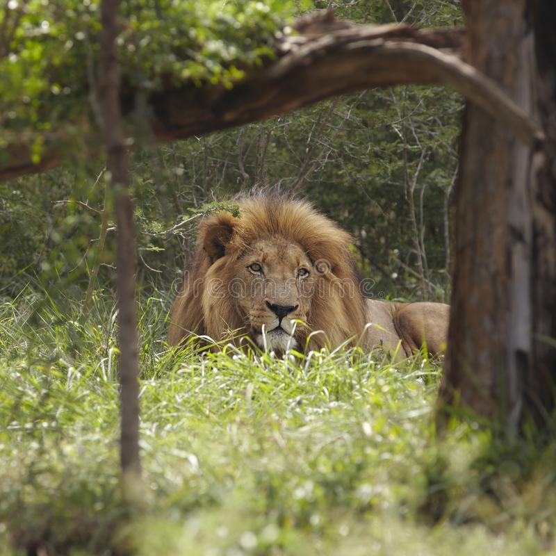 Download Lion lies in shade of tree stock image. Image of outside - 30850789