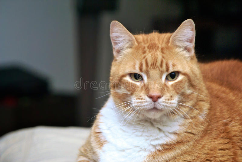 Download Lion like cat stock photo. Image of striped, feline, white - 13172184