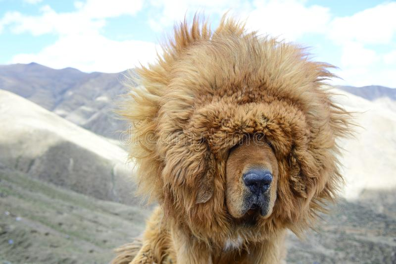 A portait of a brown Tibetan Mastiff suggests the windy climate can be a blinding challenge for these loyal guard dogs of in the T. The Tibetan Mastiff is the stock images