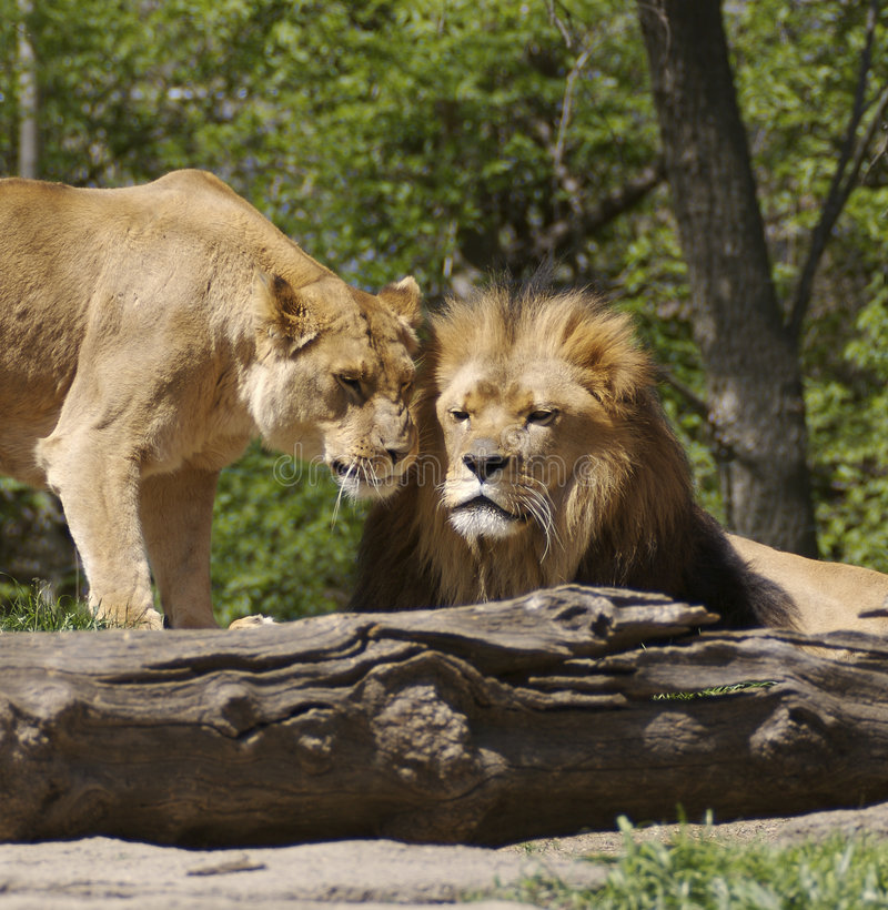 Download Lion & Lioness Stock Image - Image: 700941