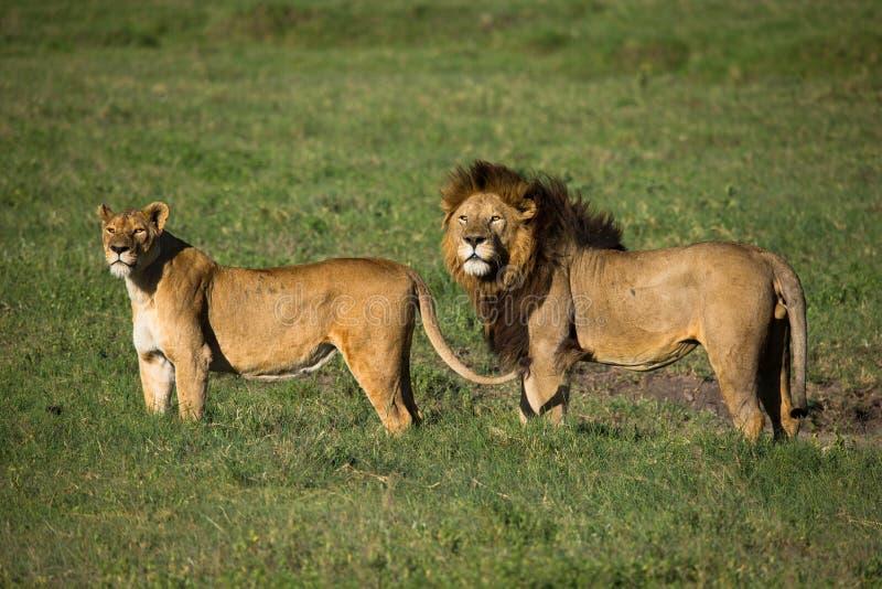 Lion an lioness stock photos