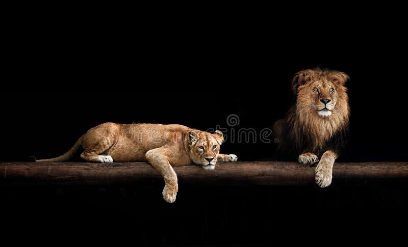Lion and lioness, animal family. Portrait in the dark, after sex.  royalty free stock photos