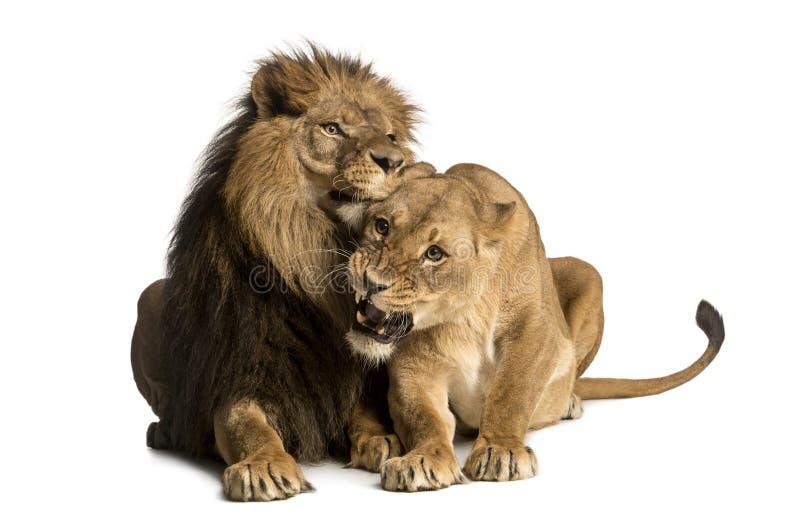 Lion and lioness cuddling, lying, Panthera leo. Isolated on white stock image