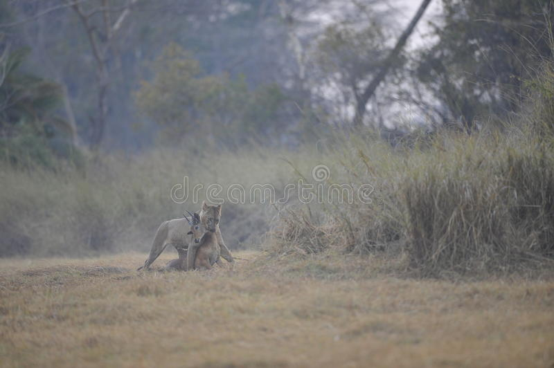 Lion Lioness with kill stock photography
