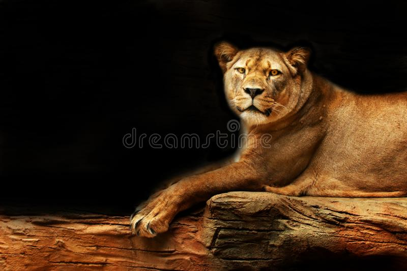 Lion. Lioness lying on a rock with a black background looking in the eye. royalty free stock images