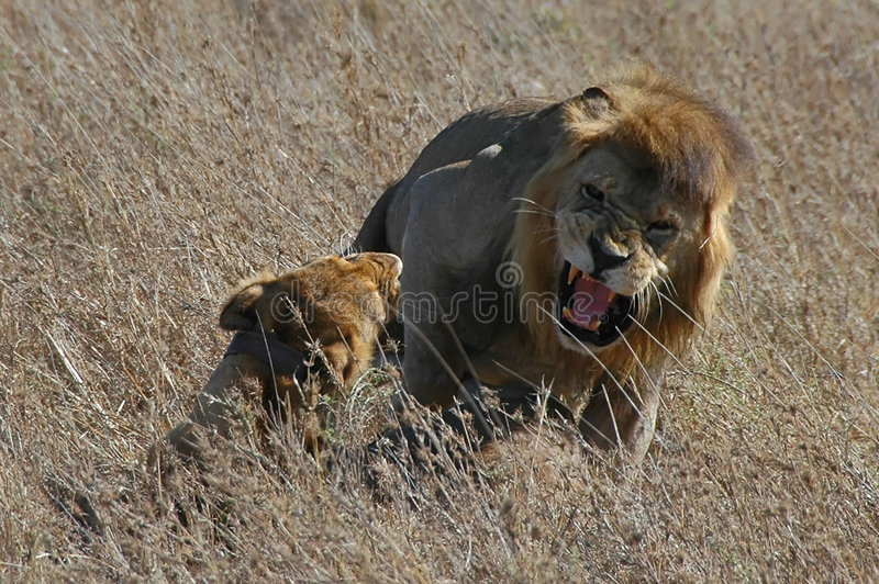 Lion and lioness mate royalty free stock photo