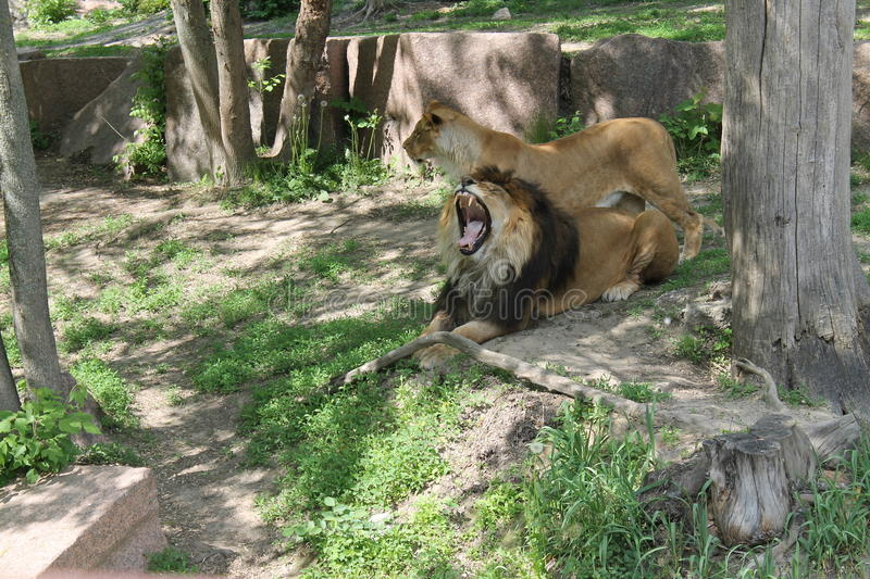 Lion and lioness in the park stock photos