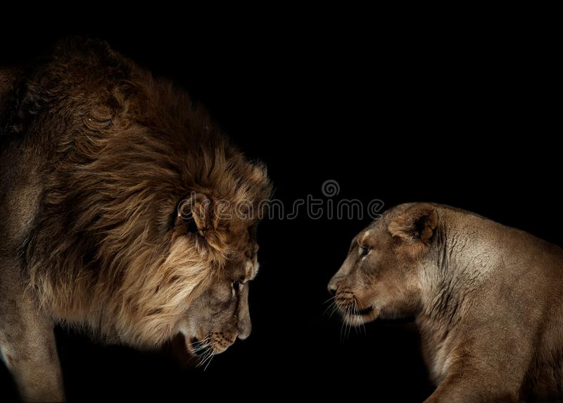 Lion and lioness portrait isolated on black background stock image